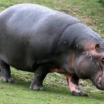 Бегемоты – интересные факты