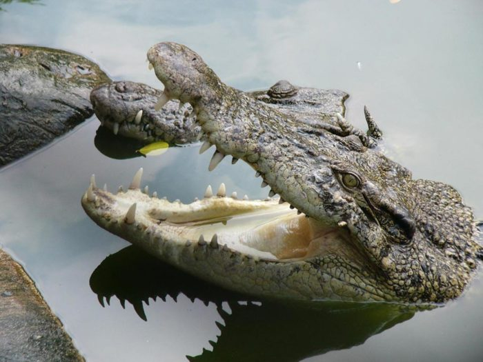 Интересные факты о крокодилах.
