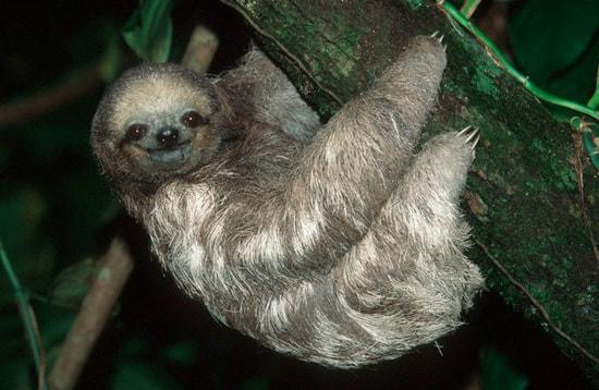 Интересные факты о ленивцах.