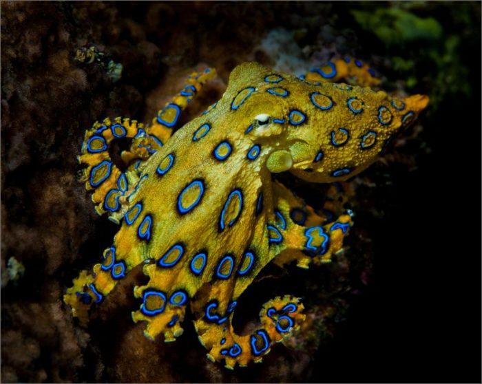 Смертельно опасный голубокольчатый осьминог