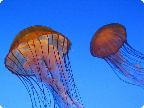 Смертельно опасная медуза-оса