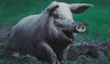 Свинина - грязное мясо