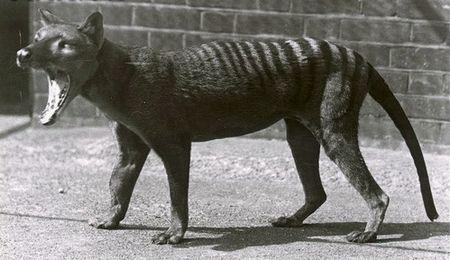 Тасманийский волк