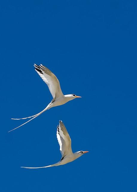Интересные факты о птице Фаэтоне
