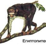 Египтопитек — в поисках общего предка