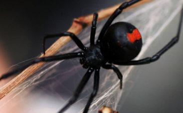 Ядовитый паук - черная вдова