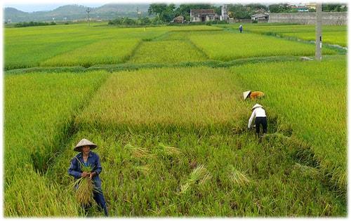 Чудо рис