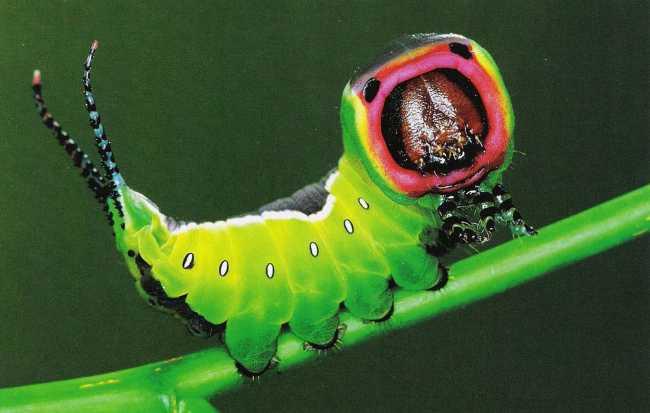 Охотничий рог против гусениц