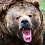 Медведь любит клюкву…