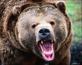 Медведь любит клюкву...