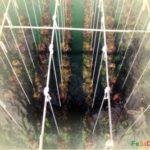 Как изобретались инскусственные плантации мидий