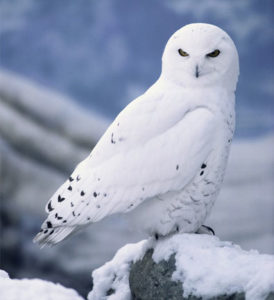 Часы полярных птиц