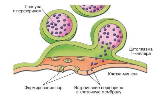 Токсины встраиваются в мембрану