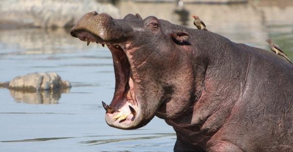 Самые опасные бегемоты