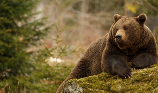 Самый опасный в мире медведь
