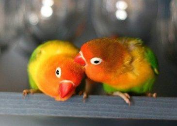 Интересные факты о попугаях-неразлучниках