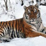 Интересные факты о амурском тигре