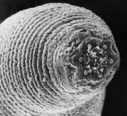 Интересные факты о круглых червях