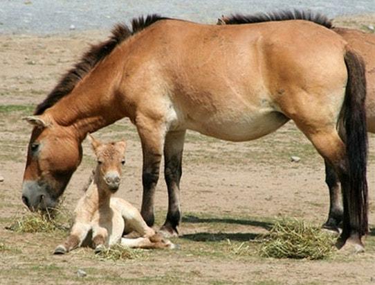Лошадь Пржевальского интересные факты