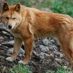 Красный волк краткое описание
