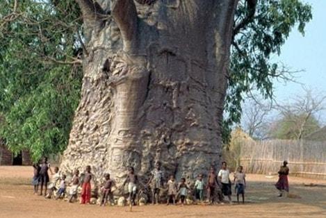Самое большое дерево в мире Баобаб