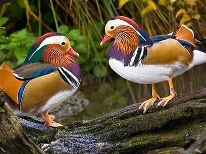 Утка-мандаринка – интересные факты