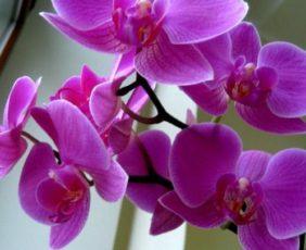 Что делать если орхидея не цветет, а выпускает только листья?
