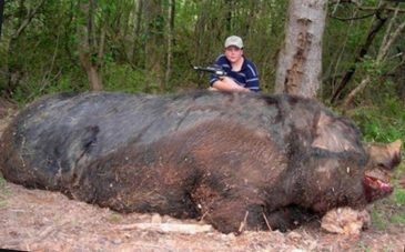 Самый большой дикий кабан, убитый на охоте