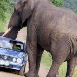 Самый высокий слон в мире