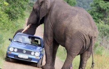 Самый высокий слон в мире в метрах