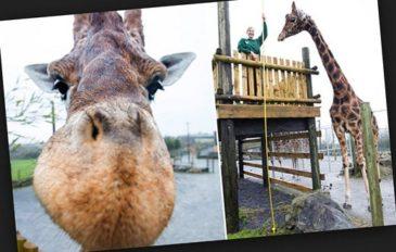 Самый высокий жираф в мире в метрах