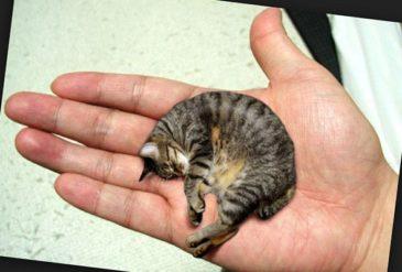 Самый маленький в мире котенок