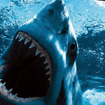 Самая крупная белая акула в мире