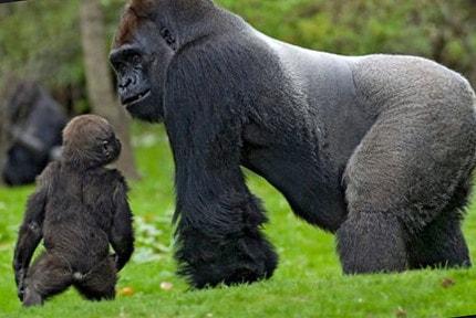 Самая крупная обезьяна в мире