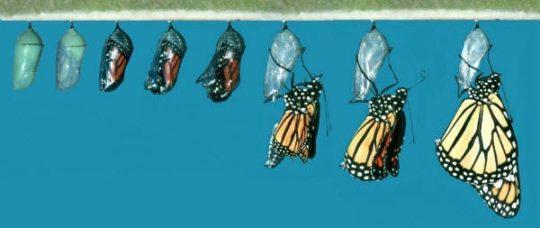 Процесс превращения куколки в бабочку