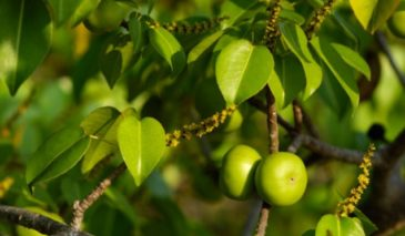 Плод и листья минцеллы