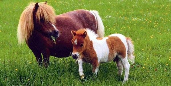 Пара пони