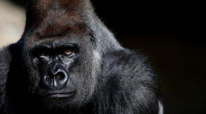 Факты про гориллу
