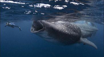 Китовая акула и дайвер